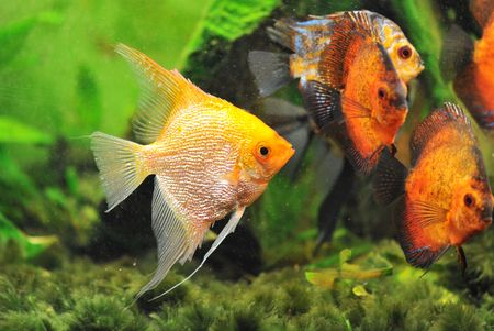 scalare: pterophyllum scalare in a tank with symphysodon discus
