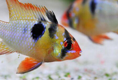 apistogramma ramirezi or Mikrogeophagus ramirezi (the ram cichlid) male Stock Photo - 7088898