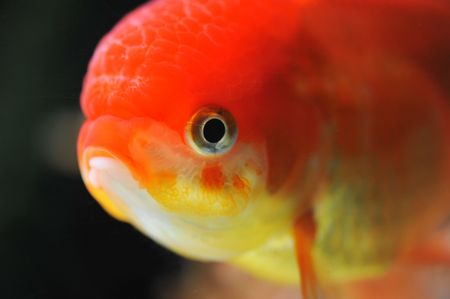 lion head goldfish in a dark backgroud in a fishtank Stock Photo - 7088899