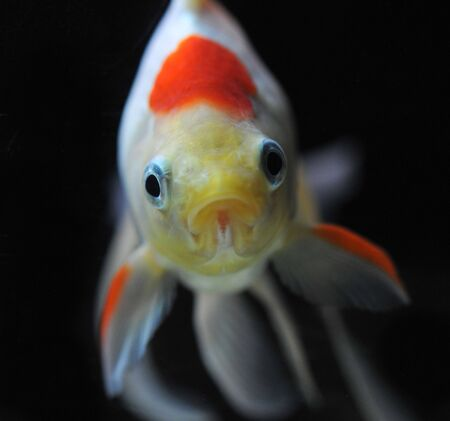 white and red goldfish in a dark backgroud in a fishtank Stock Photo - 7088890