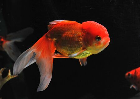 lion head goldfish in a dark backgroud in a fishtank Stock Photo - 7088901