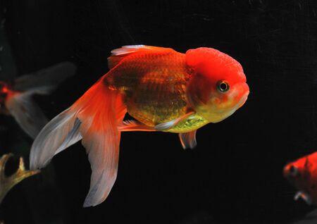 lion head goldfish in a dark backgroud in a fishtank Stock Photo - 7088901