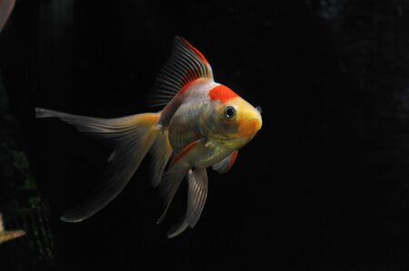 white and red goldfish in a dark backgroud in a fishtank Stock Photo - 7088889