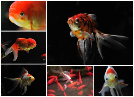fishtank: white and red goldfishes in a dark backgroud in a fishtank