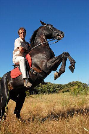 fokken van zwarte hengst en zijn ruiter in een veld Stockfoto