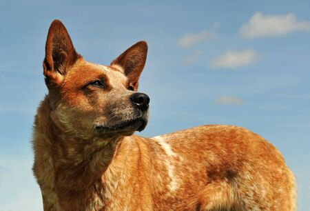 upright: red australian cattle dog upright in a blue sky