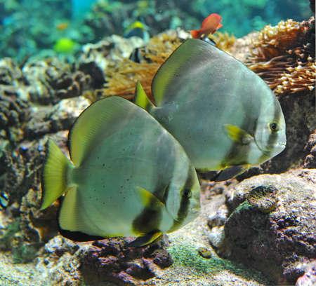 platax: two circular batfishes (platax orbicularis) in a big tropical aquarium Stock Photo
