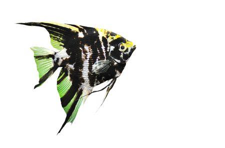 pez disco: Pterophyllum scalare con un grupo de symphysodon discus en un tanque de  Foto de archivo