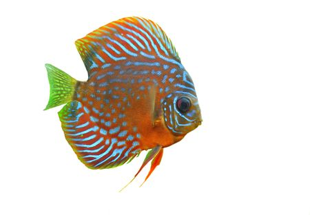 portrait of a blue tropical Symphysodon discus fish in a white background photo