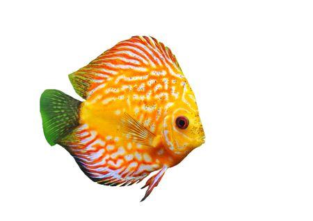 pez disco: Retrato de un rojo peces tropicales de lanzamiento de disco de Symphysodon en un fondo blanco