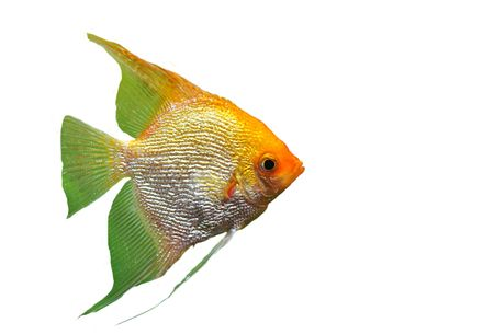 portrait of a pterophyllum scalare on a white background Stock Photo - 7233771