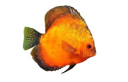 portrait of a red  tropical Symphysodon discus fish in a white background Stock Photo - 7233770