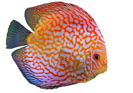 peces de acuario: Retrato de un rojo peces tropicales de lanzamiento de disco de Symphysodon en un fondo blanco