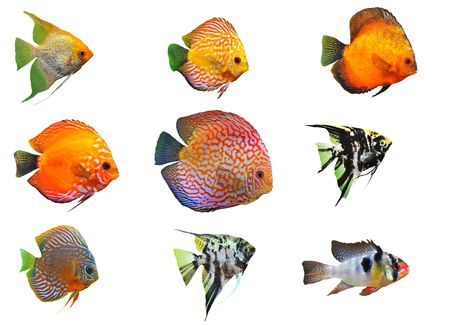 apistogramma: group of fishes on a white background Stock Photo