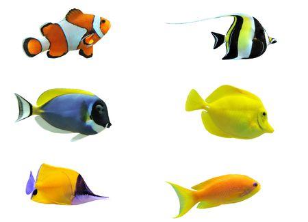 pez payaso: Vista lateral lleno de peces tropicales aislados en blanco