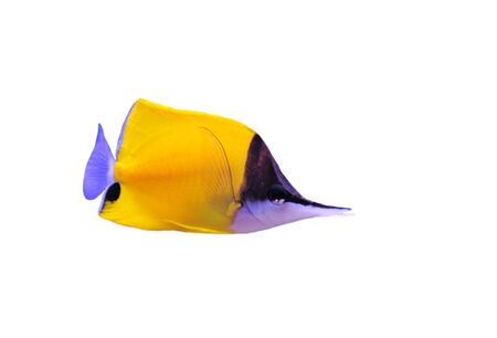 Yellow Longnose Butterflyfish (forcipiger flavissimus) on a white background Stock Photo - 7307507
