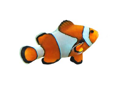 amphiprion ocellaris: Clown fish isolated in white background (Amphiprion percula) Stock Photo