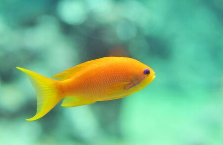 anthias fish: orange Anthias fish in a blue sky