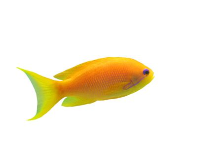 anthias fish: orange Anthias fish on a white background
