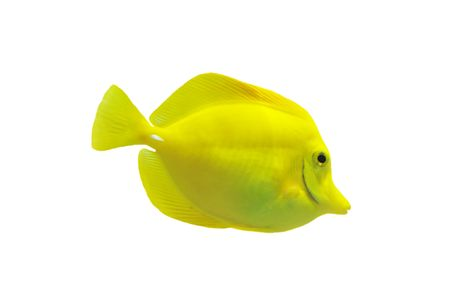 surgeonfish: full side view of yellow tang isolated on white