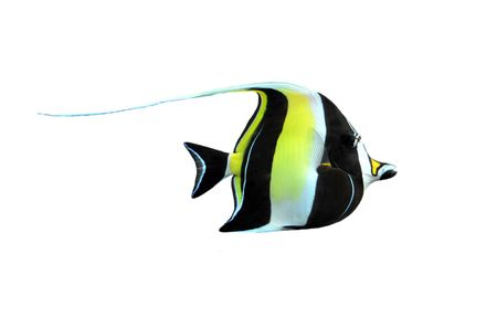 portrait of a fish zanclus cornutus on a white background Stock Photo