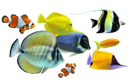 zanclus cornutus: group of fishes on a white background Stock Photo
