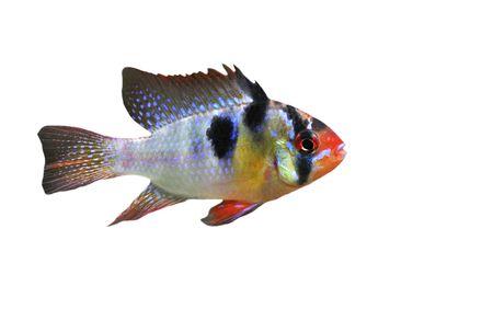 apistogramma ramirezi or Mikrogeophagus ramirezi (the ram cichlid) male on a white background Stock Photo - 7307510