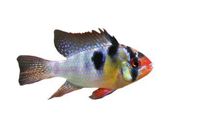 apistogramma: apistogramma ramirezi or Mikrogeophagus ramirezi (the ram cichlid) male on a white background