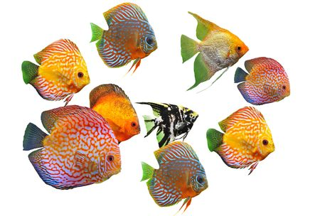 pterophyllum: group of fishes on a white background Stock Photo