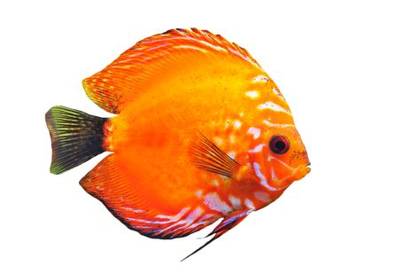 discus fish: portrait of a red  tropical Symphysodon discus fish on a white background Stock Photo
