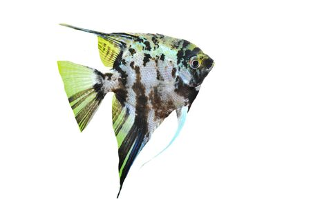 portrait of a pterophyllum scalare on a white background Stock Photo