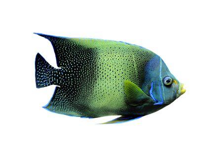 pomacanthus: Koran Angelfish Pomacanthus semicirculatus on a white background
