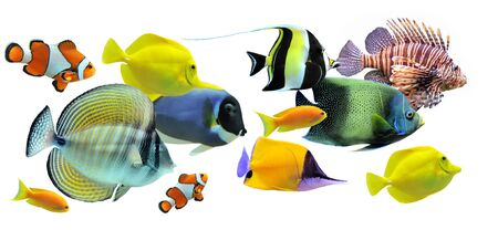 flavescens: group of fishes on a white background Stock Photo