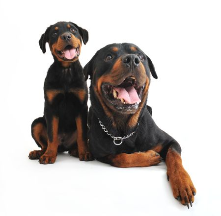 rottweiler: portrait of an adult and a puppy rottweiler on a white background Stock Photo