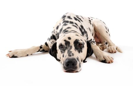 portrait of a purebred dalmatian laid down on a white background Stock Photo - 7415305