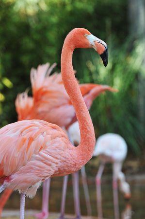 phoenicopterus: Ritratto di un grande Flamingo, Phoenicopterus Roseus