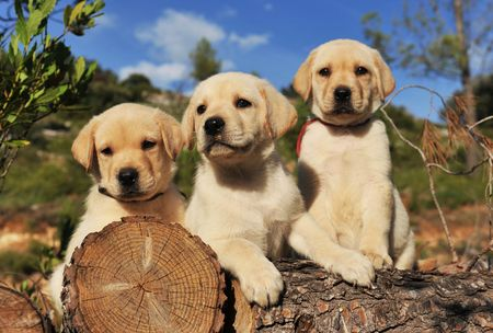 three purebred puppies labrador retriever on the wood, focus on the first. Stock Photo
