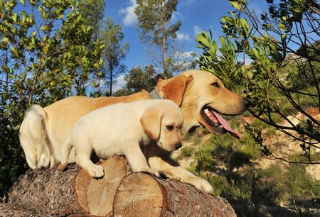 purebred puppy and adult labrador retriever on the wood. Stock Photo
