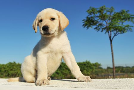 purebred puppy labrador retriever six weeks old photo