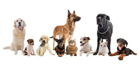 cats: gruppo di cani, cuccioli e gatti su uno sfondo bianco  Archivio Fotografico