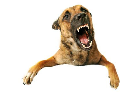 portrait of a very angry purebred belgian shepherd malinois photo