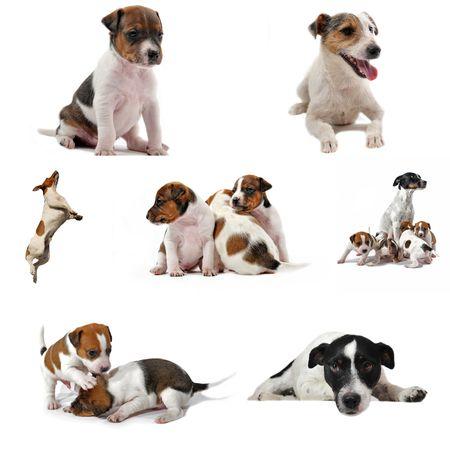 perros jugando: imagen compuesta con pedigr� jack russel terrier sobre un fondo blanco  Foto de archivo