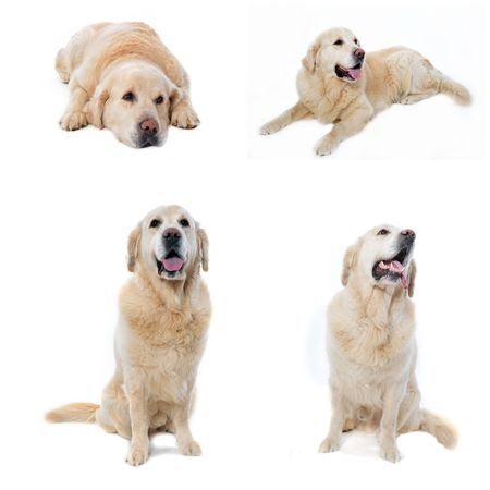 composite picture with golden retriever in a white background photo