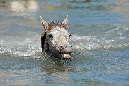 cute Camargue foal in the river swimming photo