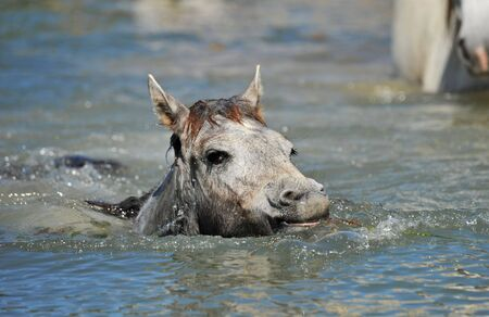 cute Camargue foal swimming in the river photo