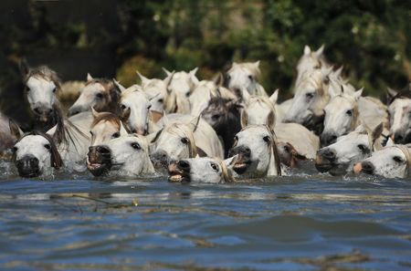 herd of Camargue horses and foal in the water photo
