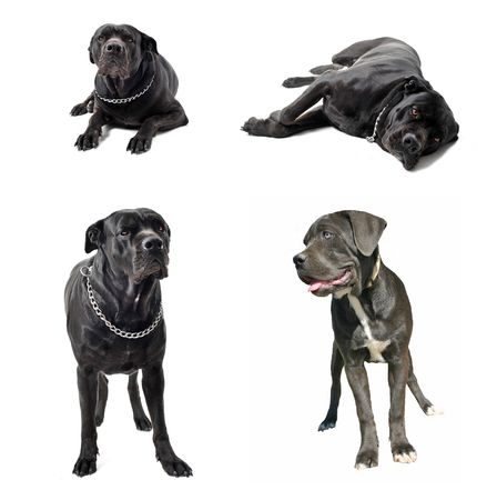 cane collars: composite picture with purebred  italian mastiff in a white background