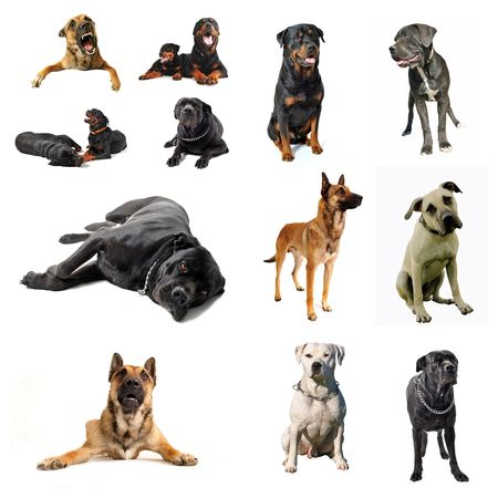 composite picture with purebred  guard dogs in a white background photo