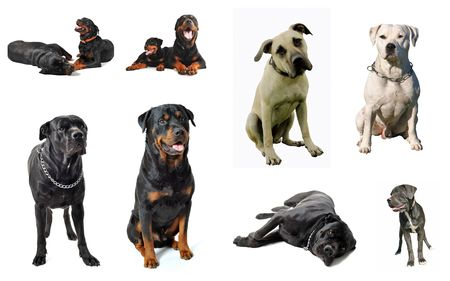cane collars: composite picture with purebred  guard dogs in a white background