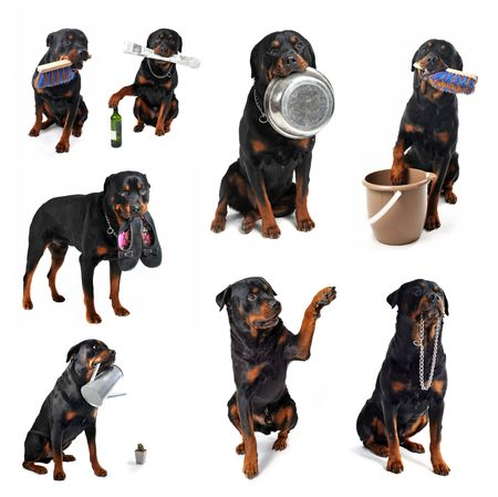 rottweiler: portrait of a purebred rottweilerwith some objets in his mouth Stock Photo